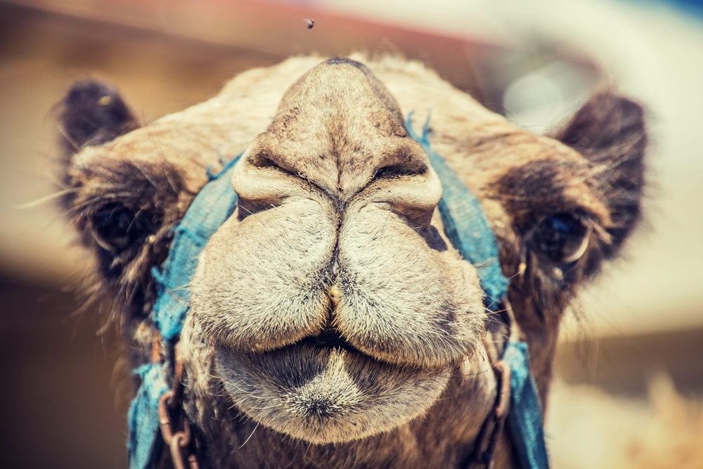 Camels, Cups, and Pain: Muscle and Joint Injury or Warning?